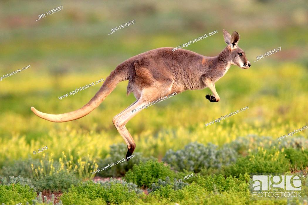 Stock Photo: Red Kangaroo (Macropus rufus) jumping adult, Tibooburra, Sturt National Park, New South Wales, Australia.