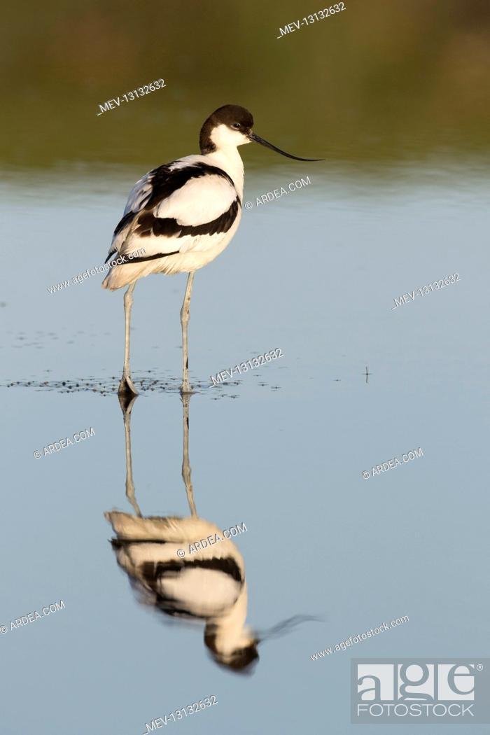 Stock Photo: Avocet - bird in shallow water - Germany.