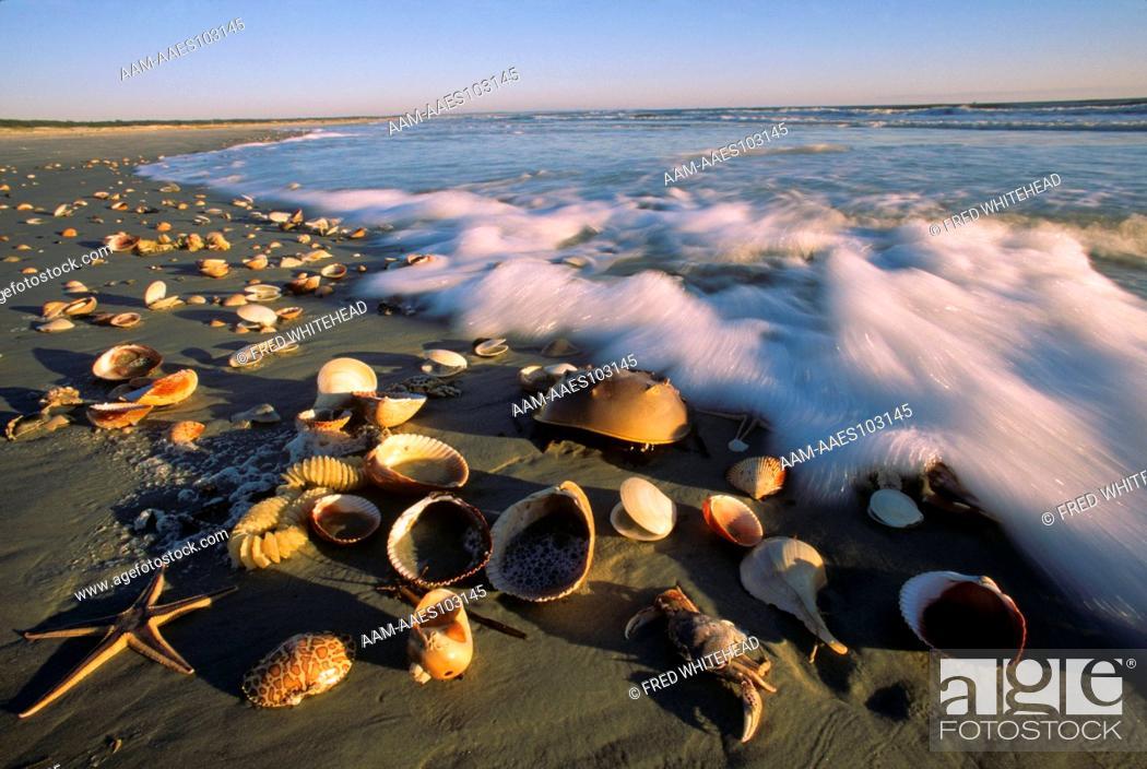 Stock Photo: Sea Shells washed ashore Cumberland Island, GA, Georgia.