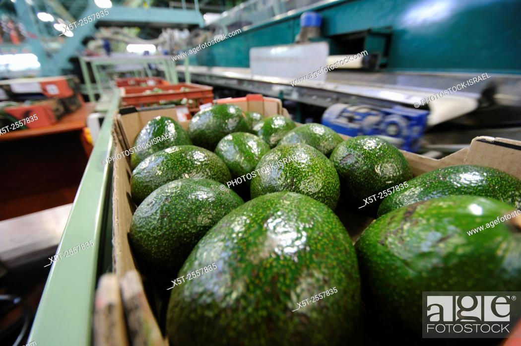 Stock Photo: Computerized Avocado sorting and packing plant. Photographed in Israel.
