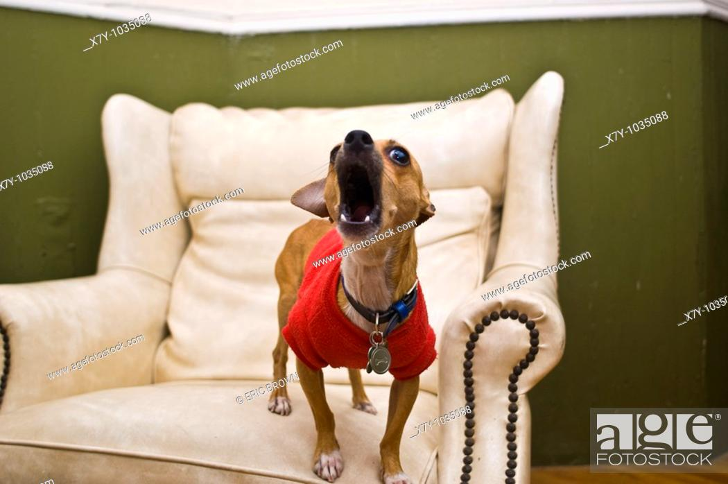 Stock Photo: A chihuahua is barking on a leather chair.