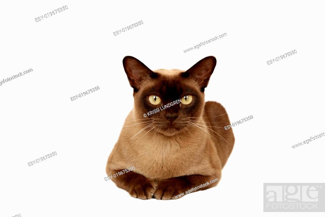 Stock Photo: Burmese cat.