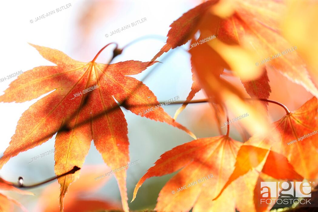 Stock Photo: Acer Japonicum Full Moon Maple, changing leaf colour in Autumn.
