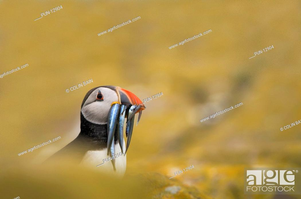 Stock Photo: Puffin Fratercula arctica with a beak full of sandeels, hiding in rocks on the island of Staple, part of the Farne Islands, Northumberland.