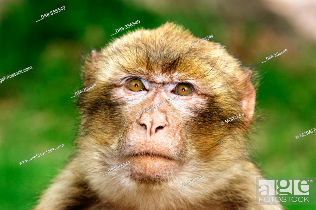 Stock Photo: Barbary Macaque (Macaca sylvanus).