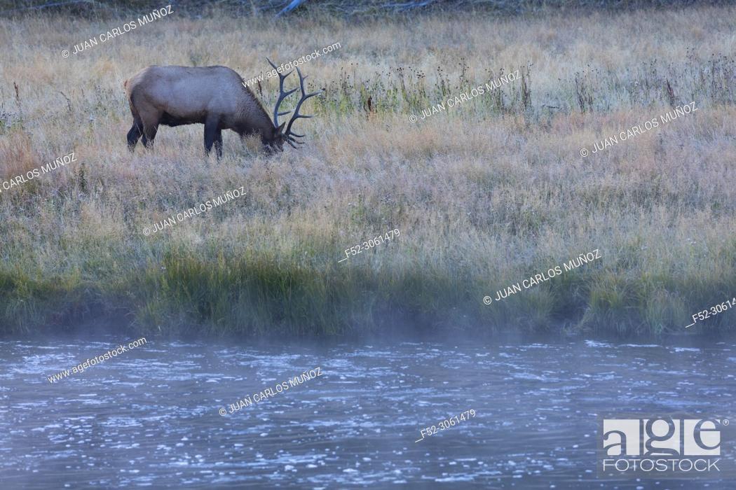Stock Photo: Elk or Wapiti (Cervus canadensis), Madison Canyon, Yellowstone National Park, Unesco World Heritage Site, Wyoming, Usa, America.