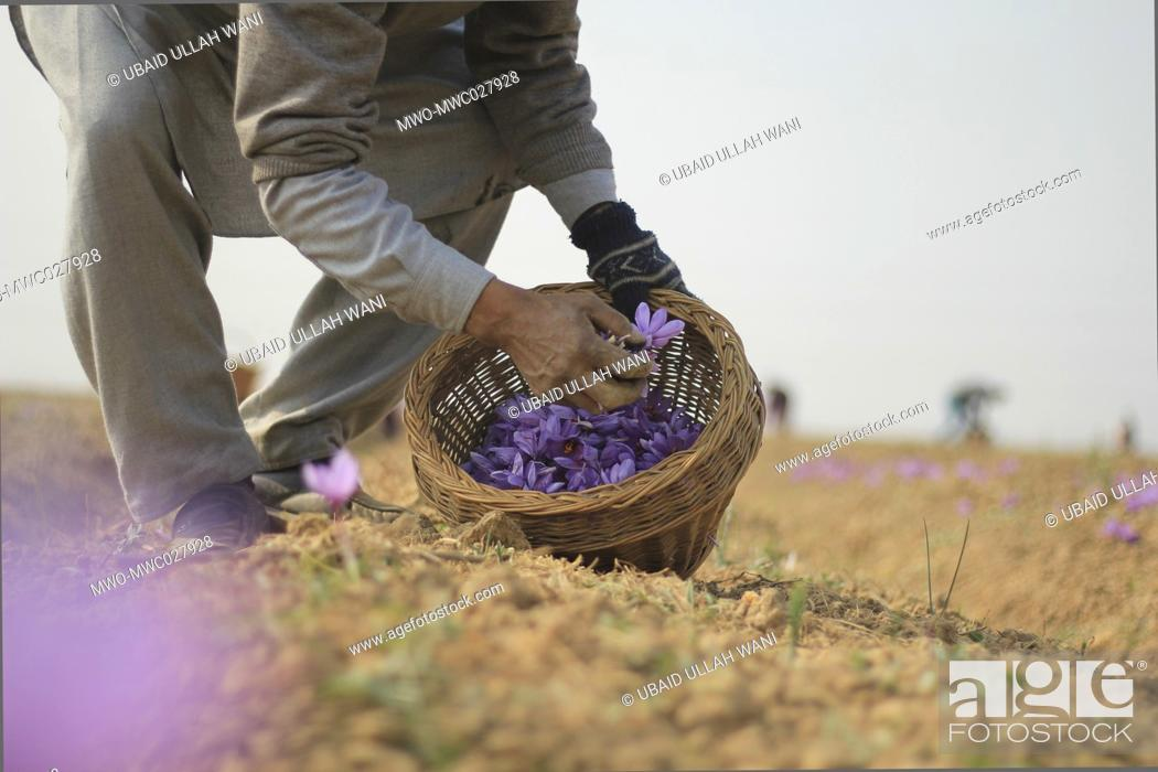 Stock Photo: Kashmiri farmer harvesting saffron in saffron town Pampore. Pampore is situated at a distance of 15km from srinagar, is famous the world over for its high grade.