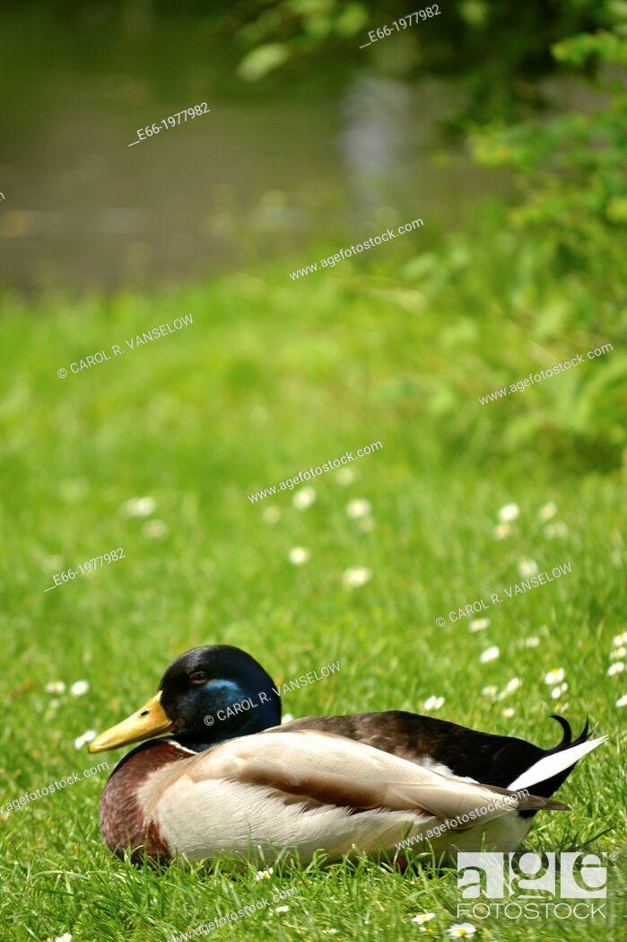 Stock Photo: Mallard duck sitting on grass near pond in Waldeck Park in Maastricht in the Netherlands.