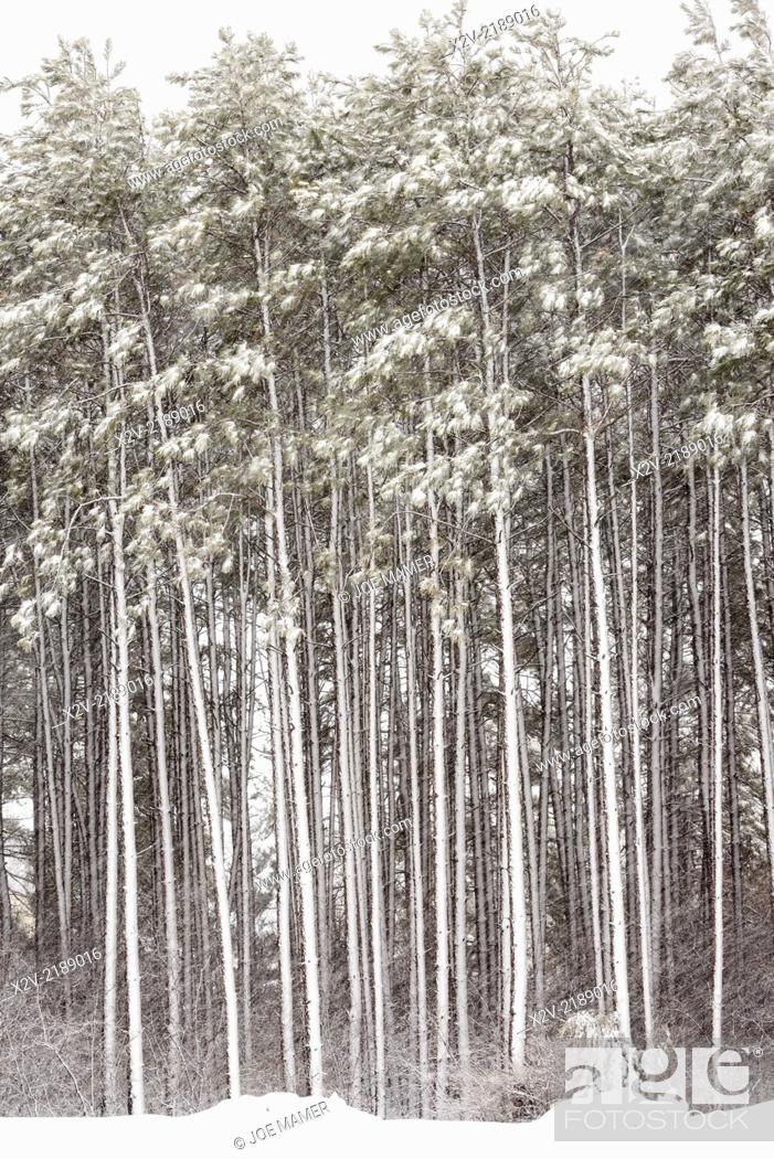 Photo de stock: Late spring snowstorm in pine forest.