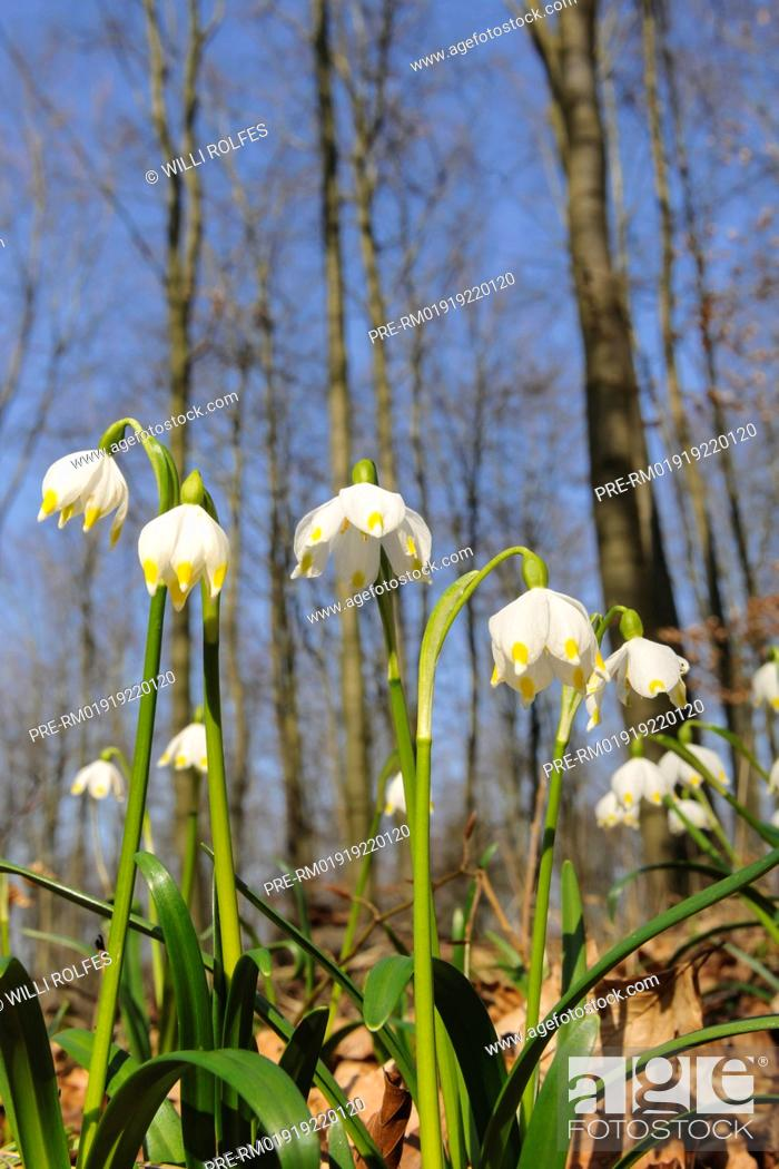 Stock Photo: Spring Snowflake Leucojum vernum, Germany / Märzenbecher Leucojum vernum, Deutschland.