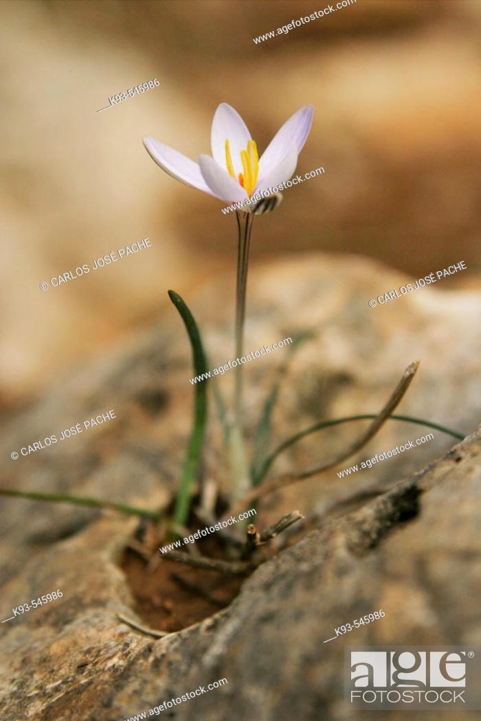 Stock Photo: Saffron from Mallorca.