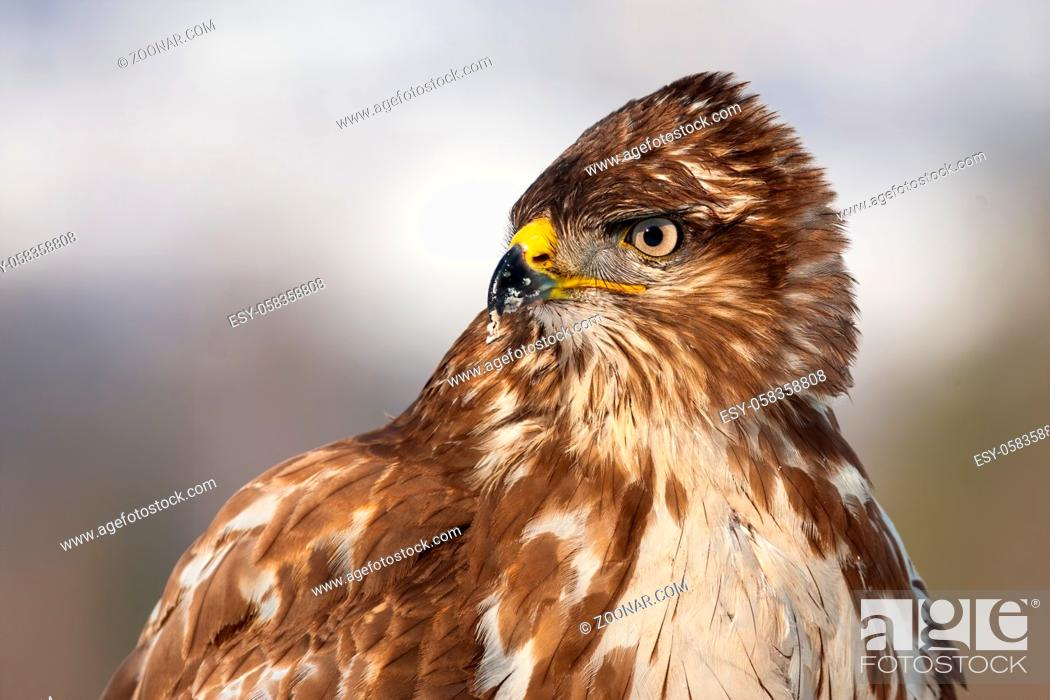 Stock Photo: Horizontal close-up portrait of a wild common buzzard, buteo buteo, in winter. Bird of prey with brown feathers looking aside and observing.
