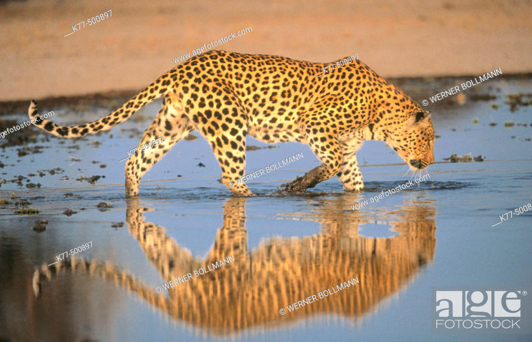 Stock Photo: Leopard, male in the water (Panthera pardus) captive. Game Farm. Namibia.