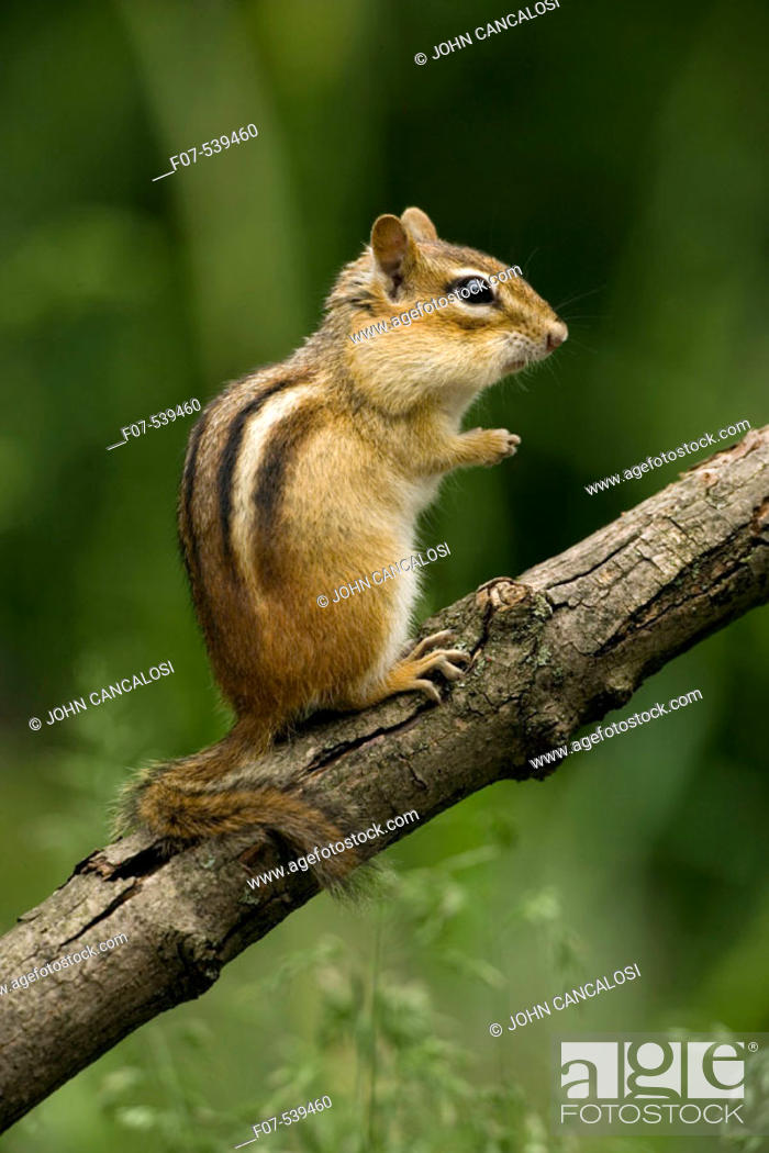 Stock Photo: Eastern Chipmunk (Tamius striatus) - New York - Found across most of Eastern U.S. and  Southeastern Canada - Inhabits deciduous forests and brushy areas - Feeds.