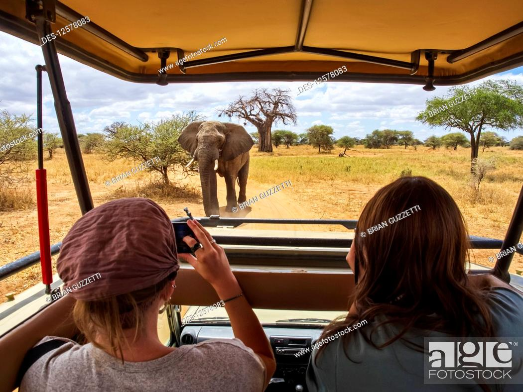 Imagen: Female tourists view and photograph an African elephant (Loxodonta africana) while sitting in a vehicle on safari, Baobab tree (Andansonia digitata) in the.