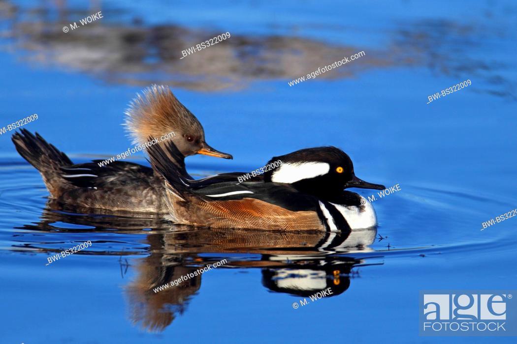 Stock Photo: hooded merganser (Mergus cucullatus), swimming couple, USA, Florida.