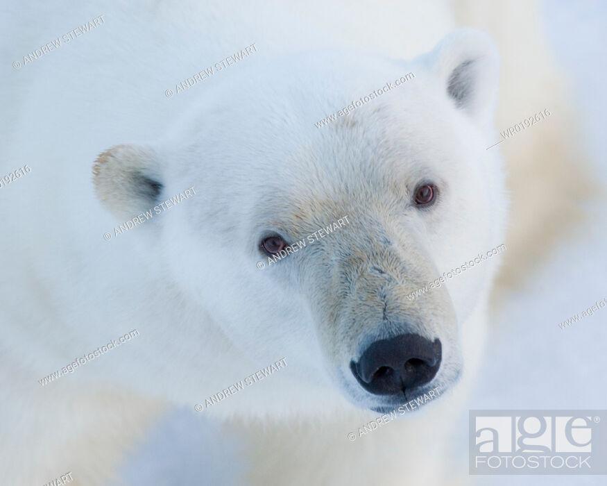 Imagen: Polar Bear Ursus maritimus Longyearbyen, Svalbard, Norway.