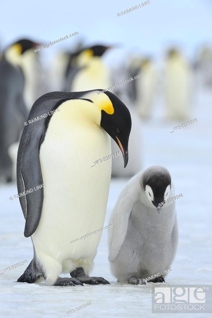 Stock Photo: Emperor penguins, Aptenodytes forsteri, with a Chick in Penguin Colony, Snow Hill Island, Antartic Peninsula, Antarctica.