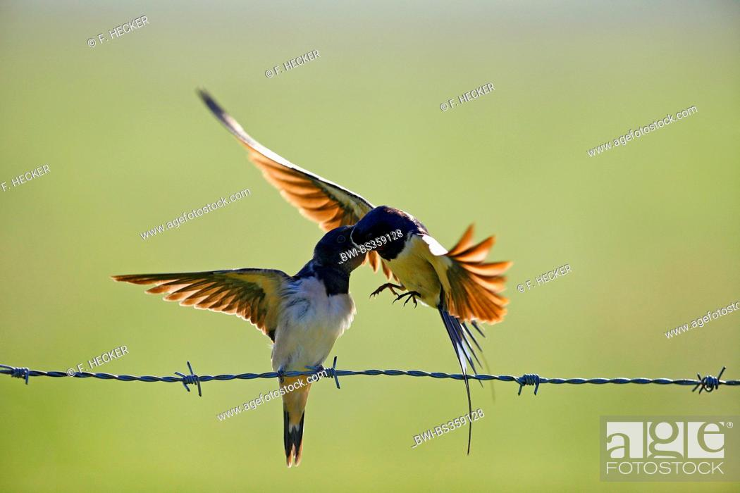 Stock Photo: barn swallow (Hirundo rustica), adult bird in flight feeding a fledged young bird on a barbwire , Germany.
