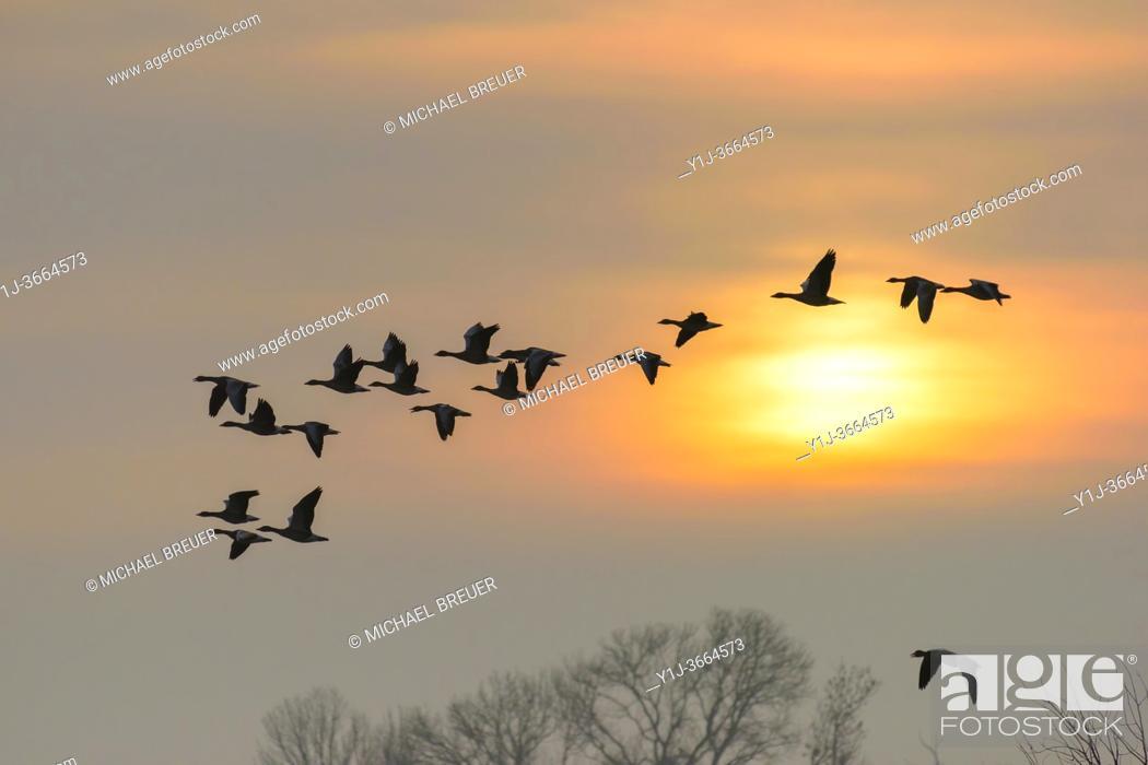 Stock Photo: Flock of greylag geese at sunrise, Anser anser, Germany, Europe.