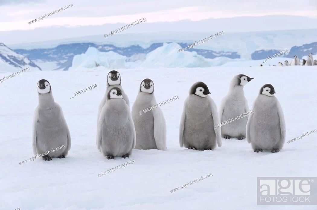 Stock Photo: Emperor Penguin Aptenodytes forsteri chicks  Snow Hill Island, Antarctic Peninsula, Antarctica.