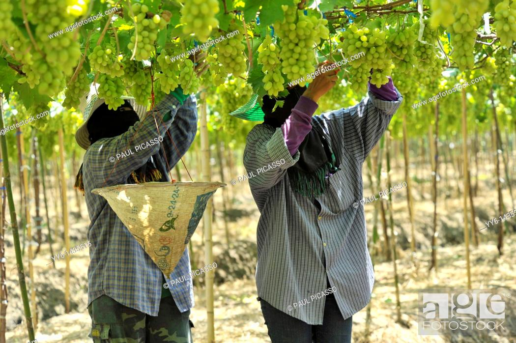 Stock Photo: Harvesting white malacca grapes, floating vineyards of samut sakhon and ratchaburi, grapevines on islands seperated by canals, thailand.