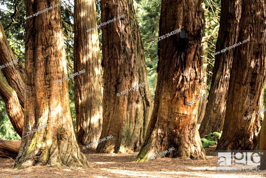 Stock Photo: California Red Oaks in Castlewellan, County Down, Northern Ireland.