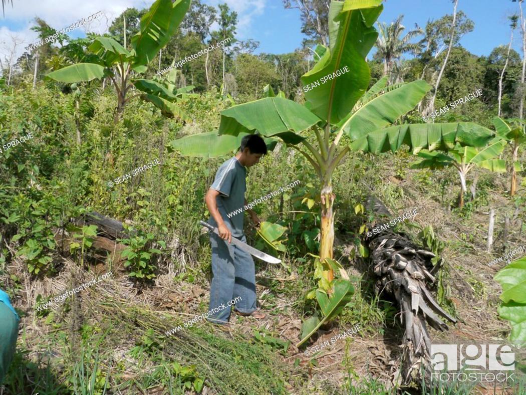 Stock Photo: Farmer on his plot of land in Comunidad Las Palmeras, ECOTOPS projects in Alto Beni, Bolivia.