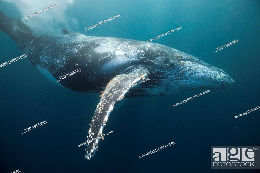 Stock Photo: Humpback Whale, Megaptera novaeangliae, Indian Ocean, Wild Coast, South Africa.
