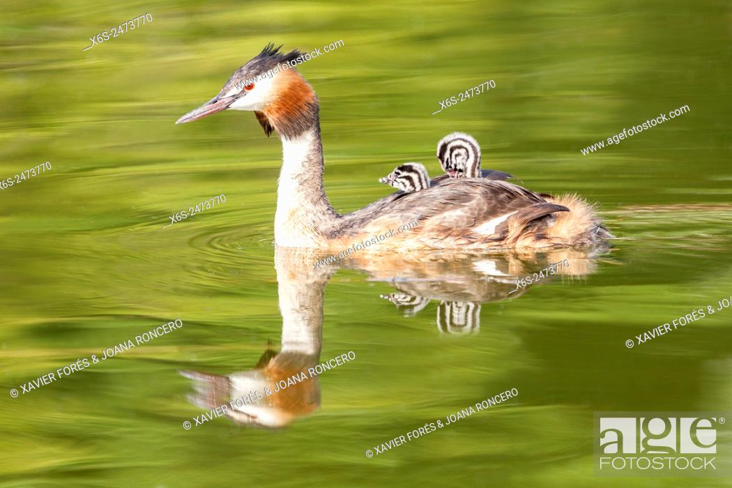 Imagen: Great Crested Grebe -Podiceps cristatus- in the Lac du Bourget, Savoie, Rhône-Alpes, Francia.
