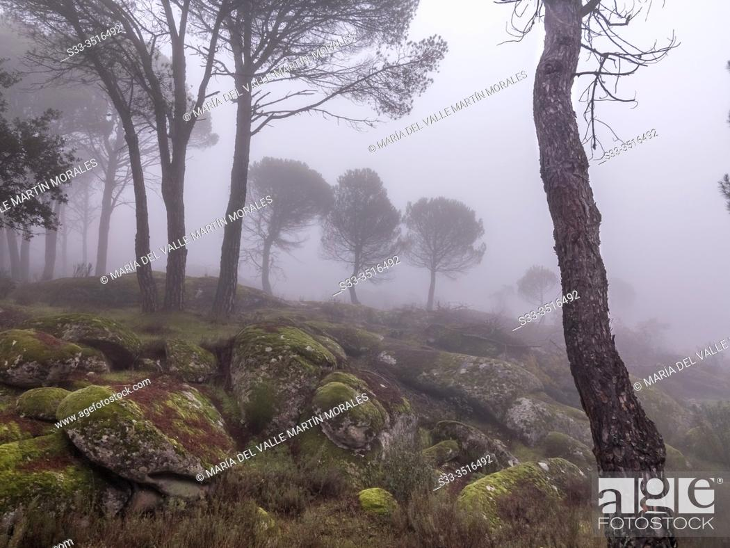 Stock Photo: Granite rocks with moss, pines and fog. Madrid. Spain. Europe.