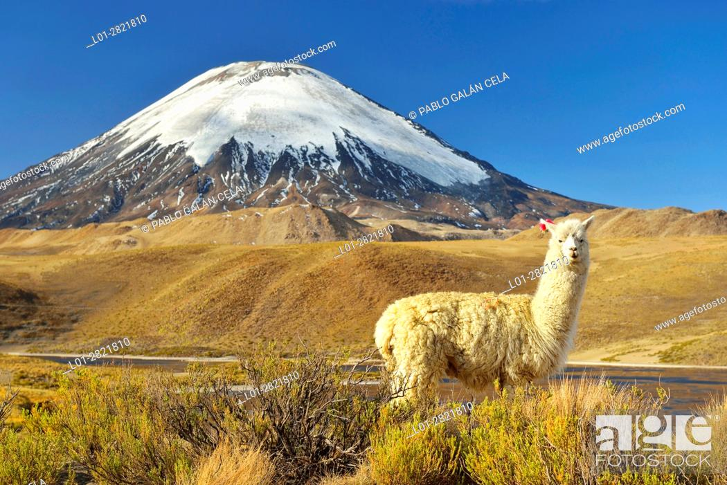 Imagen: Alpaca at the foot of the Parinacota volcano near Chungara lake, Chile.