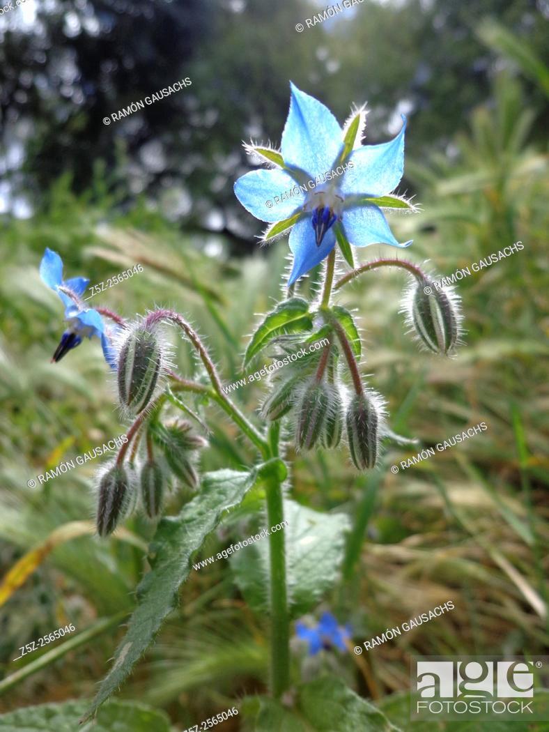 Stock Photo: Borage (Borago officinalis). Catalonia, Spain.