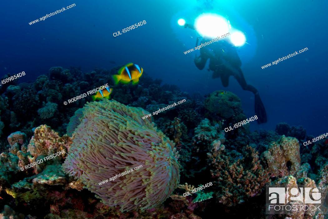Stock Photo: Scuba diver by Clownfish (amphiprion bicinctus), Marsa Alam, Egypt.