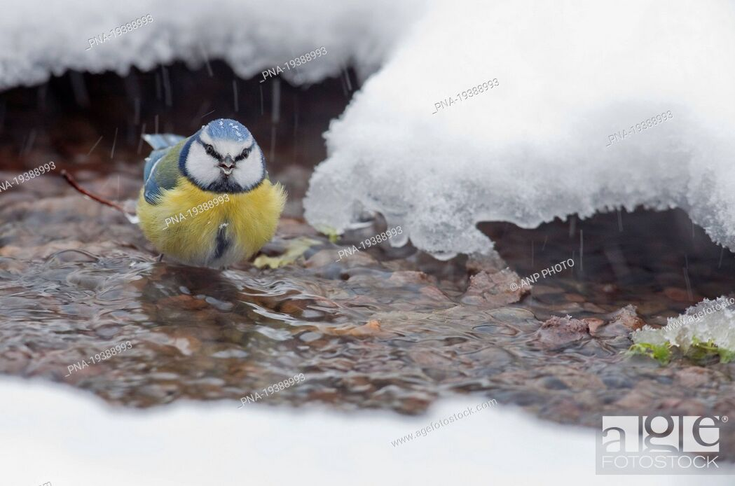 Stock Photo: Blue Tit Parus caeruleus - Radio Kootwijk, Veluwe, Gelderland, Guelders, The Netherlands, Holland, Europe.