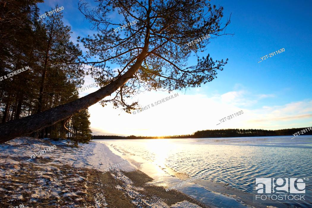 Stock Photo: Pine tree growing at the sandy shore of a quiet lake in early winter. Tällvattnet, Bredbyn, Västernorrland, Sweden.