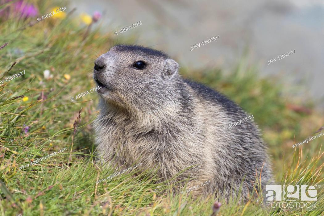 Stock Photo: Alpine Marmot - young marmot - Hohe Tauern National Park, Austria.