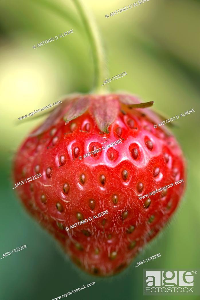 Stock Photo: Ripe strawberry Fragaria Ananassa.