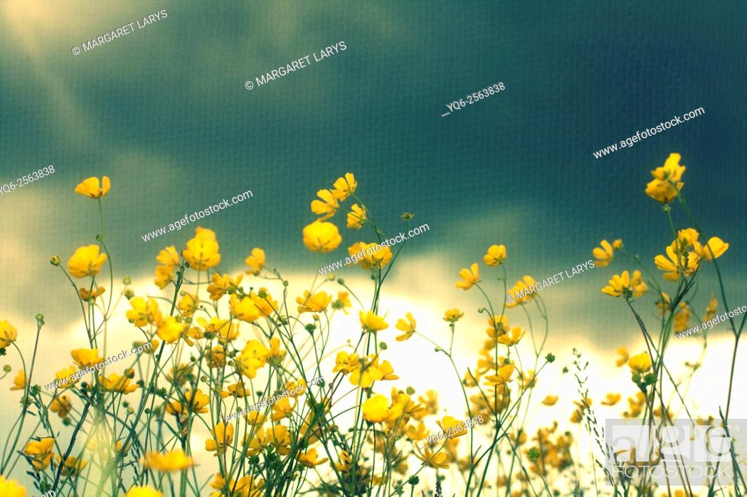 Stock Photo: Soft focus of beautiful buttercups flowers, romantic background.