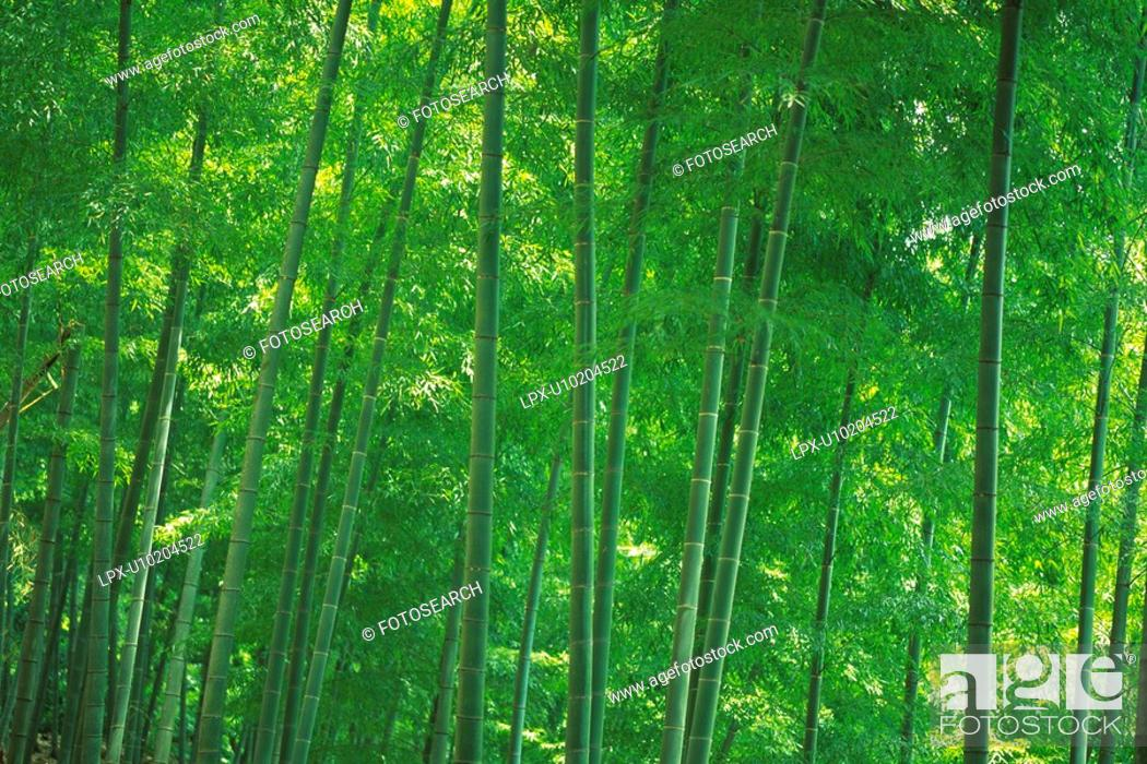 Stock Photo: Bamboo Trees in the Woods, Front View, Pan Focus.