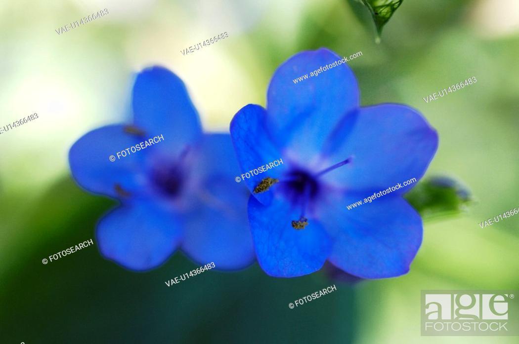 Stock Photo: Eranthemum pluchellum Andr.