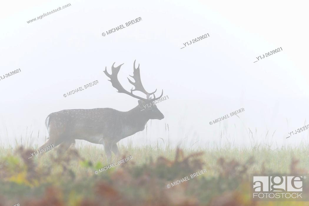 Imagen: Fallow Deer (Cervus dama) on misty morning, Autumn, Hesse, Germany, Europe.