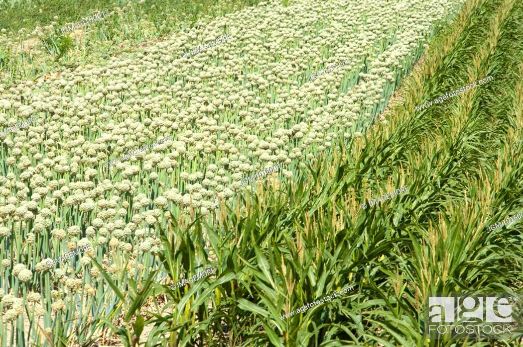 Stock Photo: Onion Flower and Corn Field in France.