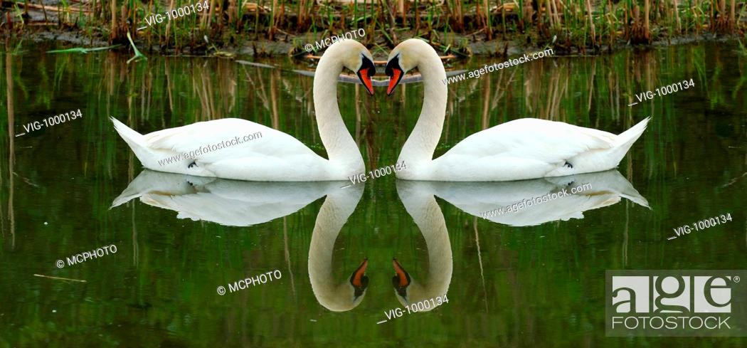 The Sleeping Swans >> Sleeping Swans Face To Face With Heart Reflections 04 06 2005