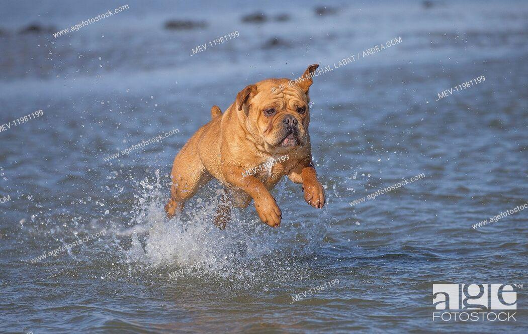 Stock Photo: Dog, Continental bulldog running in water, sea.