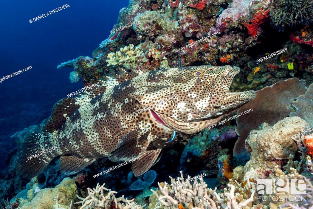 Stock Photo: Malabar Grouper at Cleaning Station, Epinephelus malabaricus, Osprey Reef, Coral Sea, Australia.