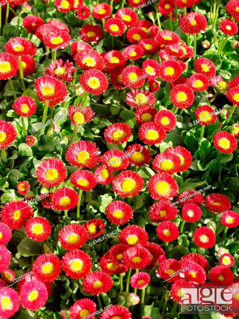 Stock Photo: Daisies (Bellis perennis).