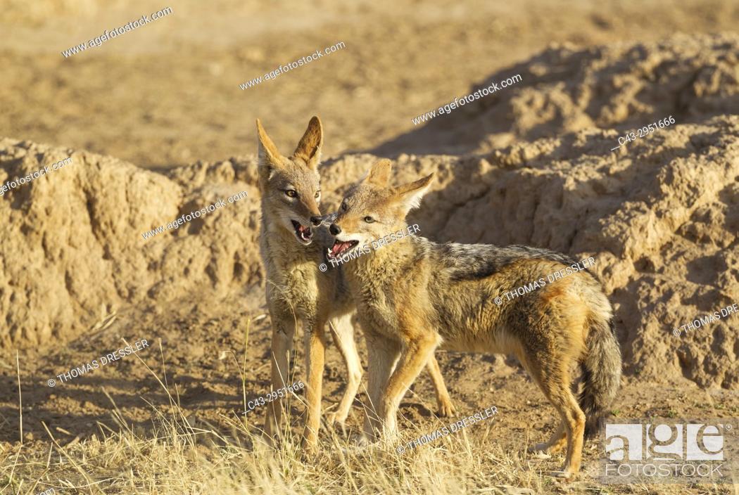 Imagen: Black-backed Jackal (Canis mesomelas). Playful. Kalahari Desert, Kgalagadi Transfrontier Park, South Africa.