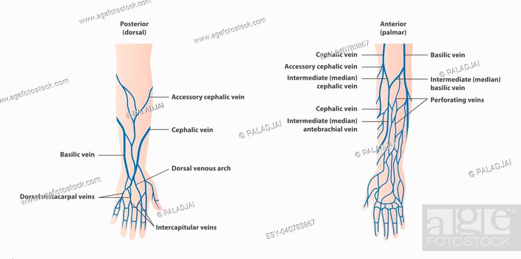 Veins Of The Antecubital Fossa Stock Photos And Images Age Fotostock