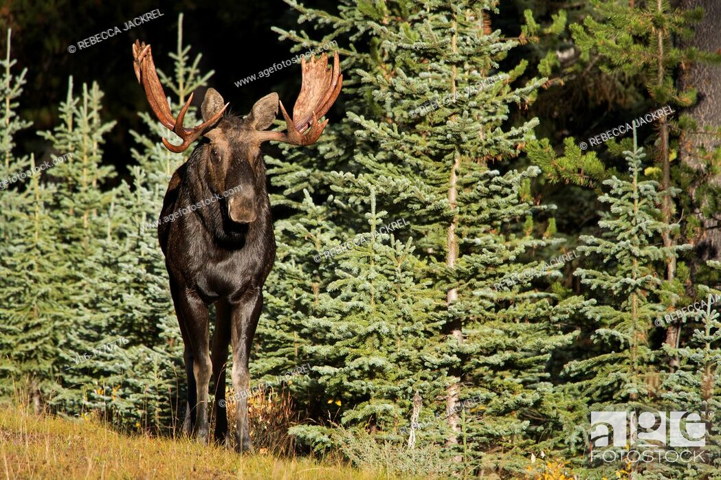 Stock Photo: A bull moose Alces alces emerges from a stand of pine trees in Jasper National Park, Alberta, Canada.